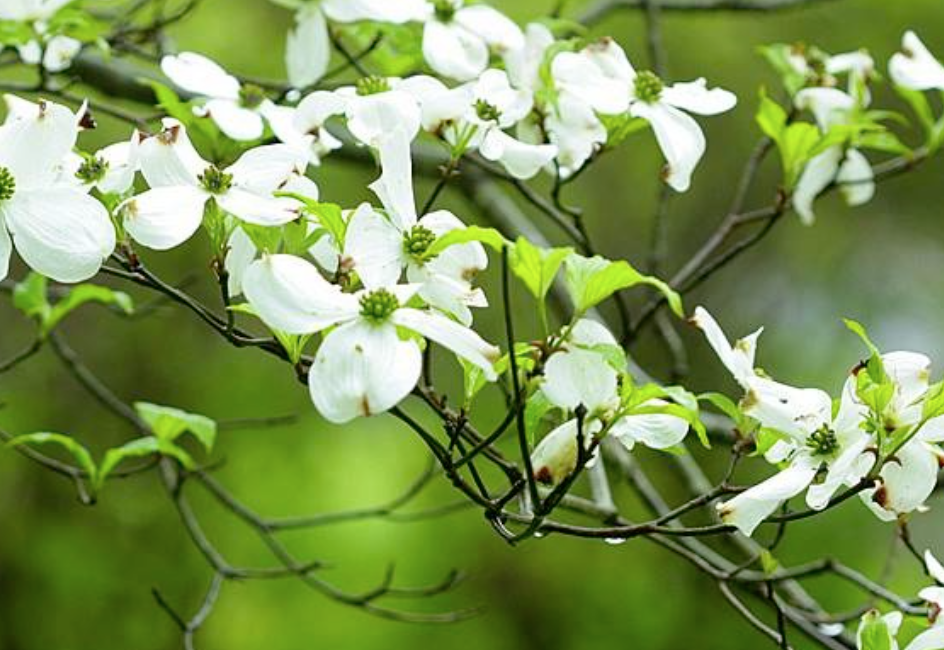 dogwood blooming branches