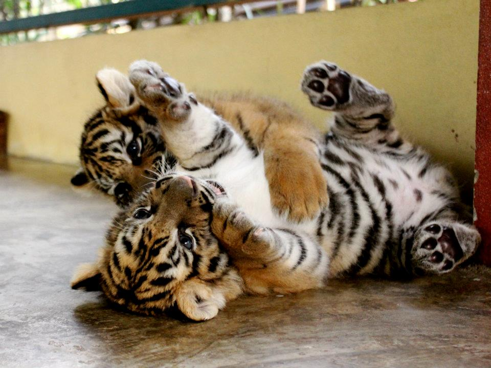 baby-tigers-in-thailand.jpg