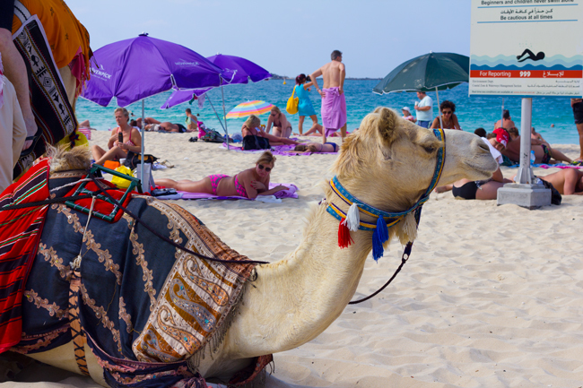 Camel on Jumeirah Beach