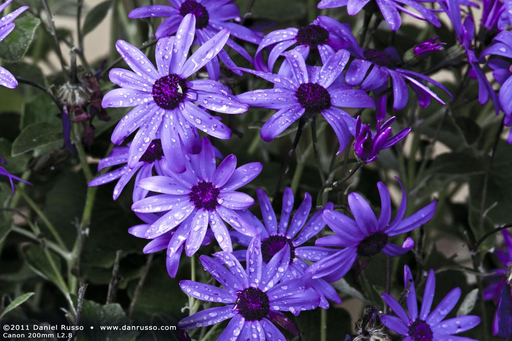 Purple Reign lg.jpg