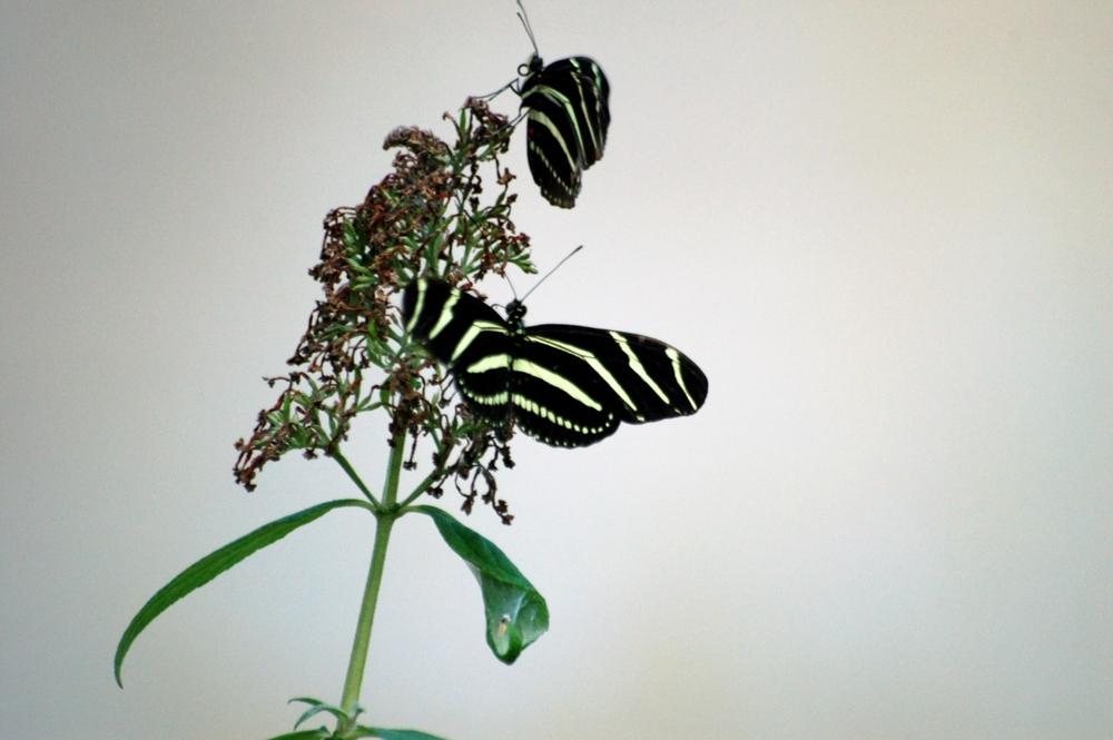 butterfly1c.jpg