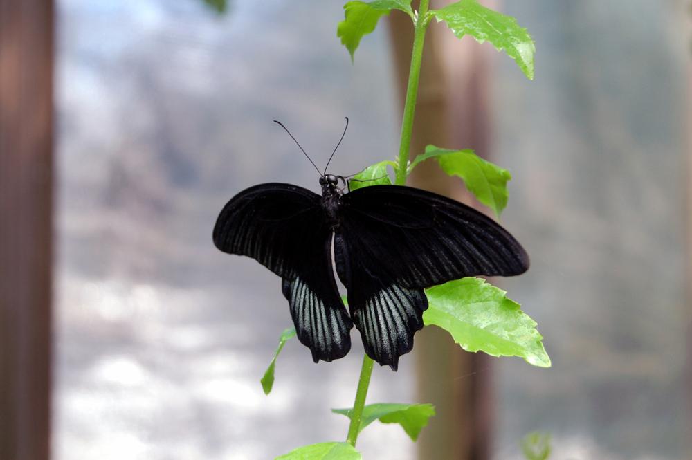 butterfly1h.jpg