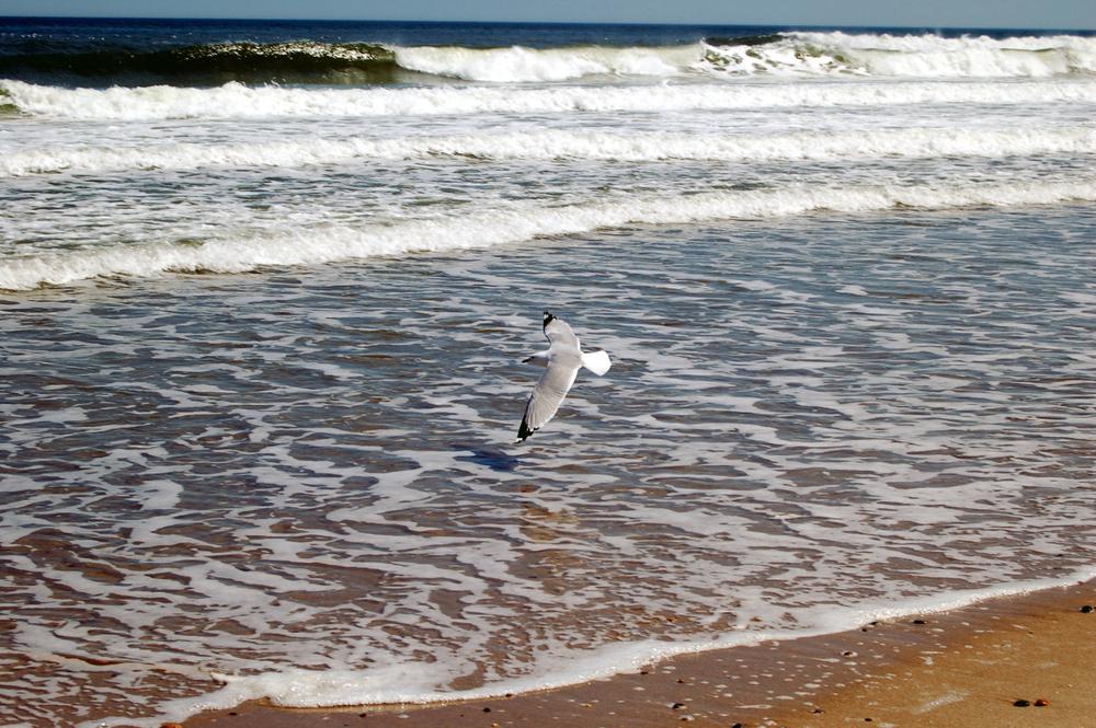seagull over water.jpg