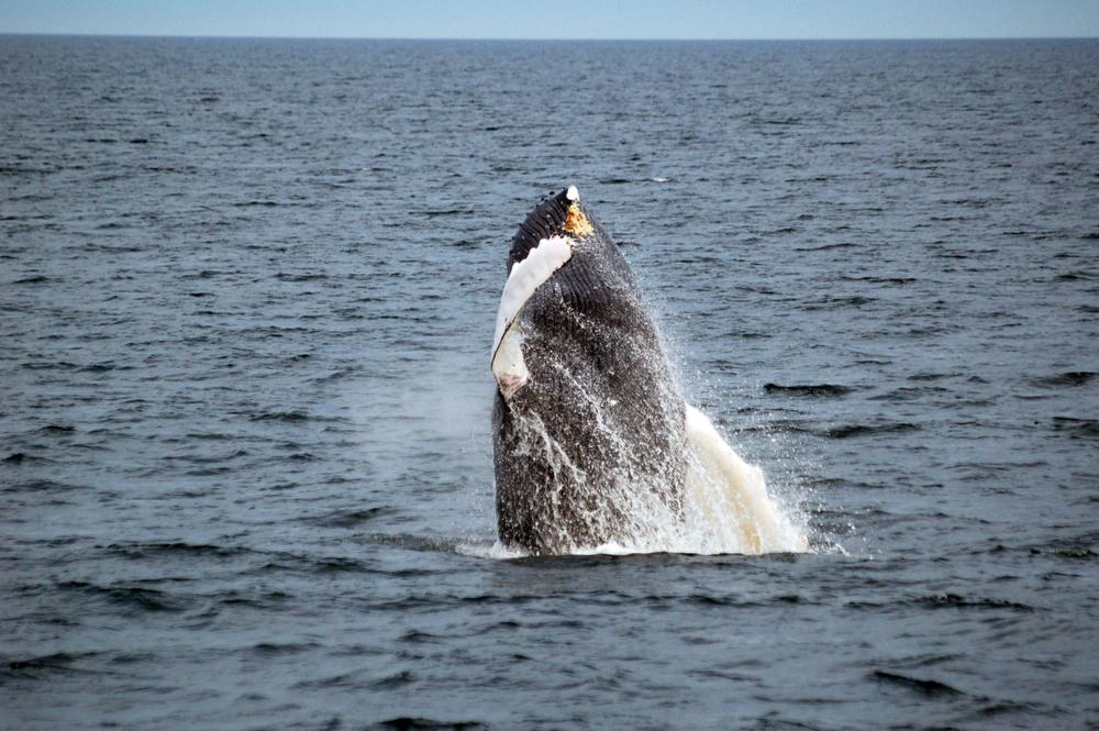 whale jump.jpg