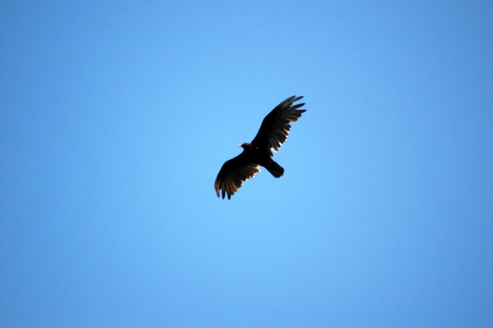 soaring for food.jpg