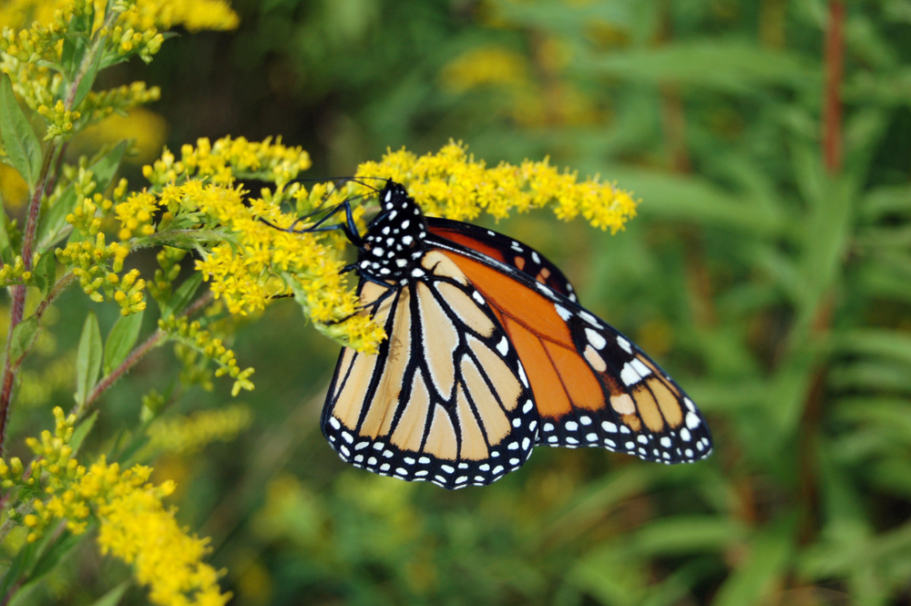 monarch on the mountain.jpg