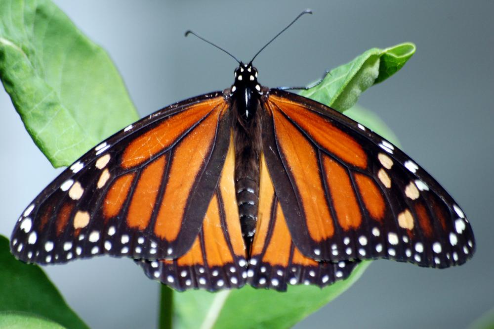 monarch full span.jpg