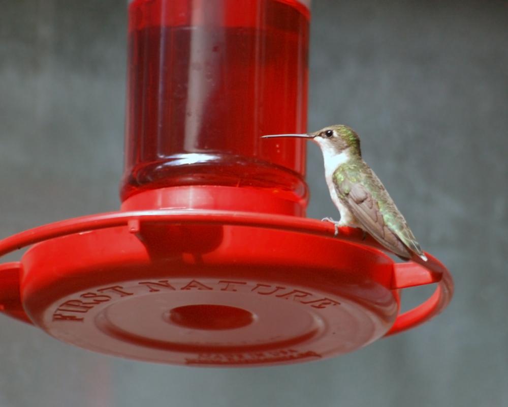hummingbird at the feeder.jpg