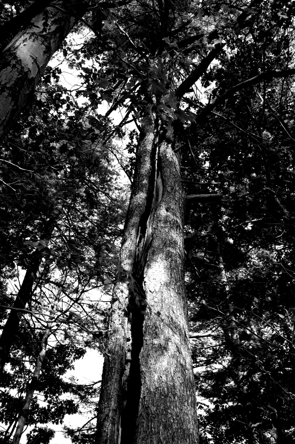 looking up at old tree black and white.jpg
