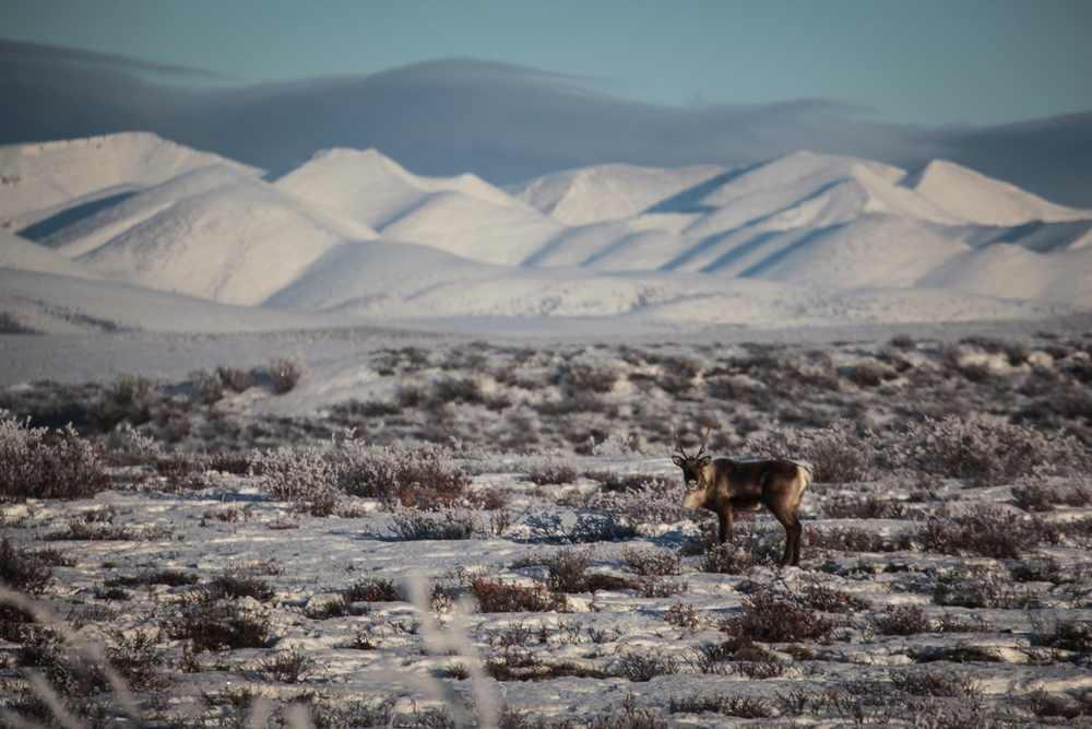 Fortymile caribou herd, Dempster Highway