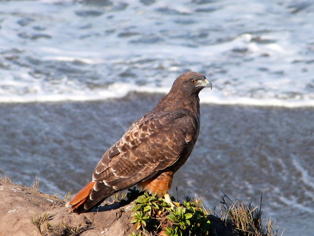 81 Red Tail by the Sea.jpg