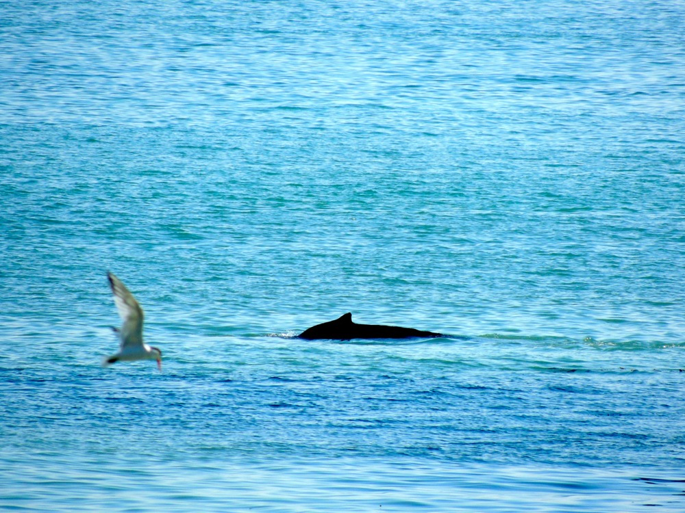 Double whammy: Humpback whale and Elegant (or Caspian) tern.