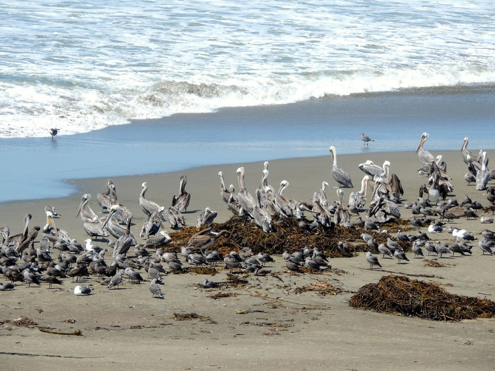 Note the hierarchy. The big pelicans get to sit up front. Little gulls at the back.