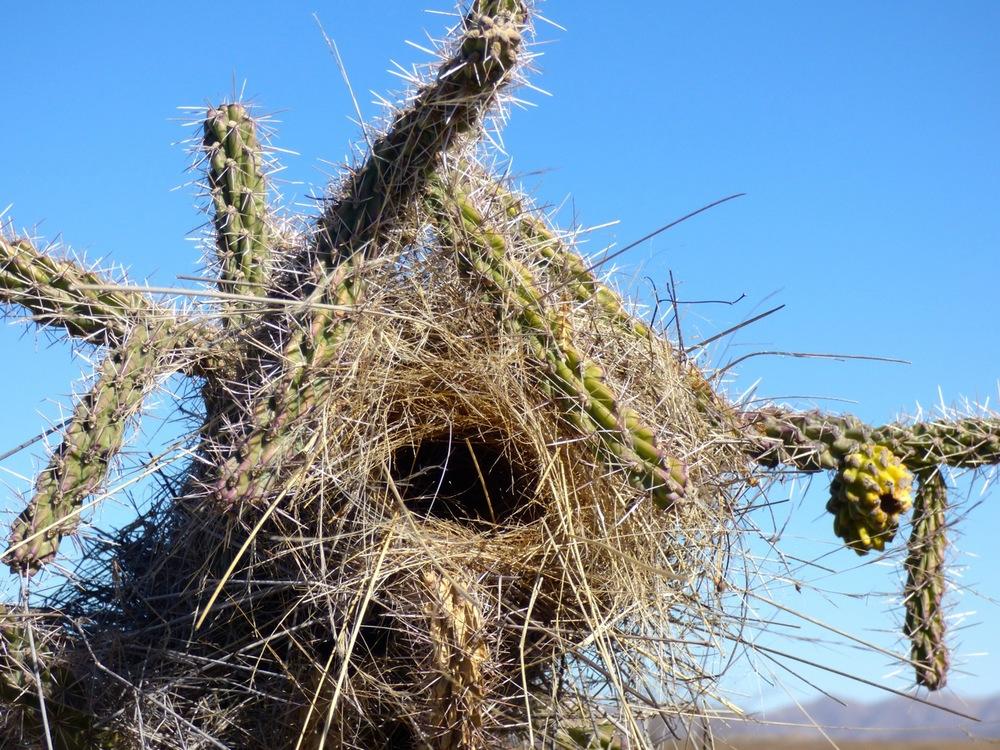 Cactus wren's nest