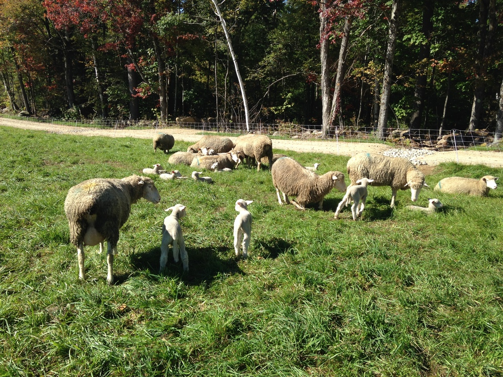 Sheep at Mayfair Farm.