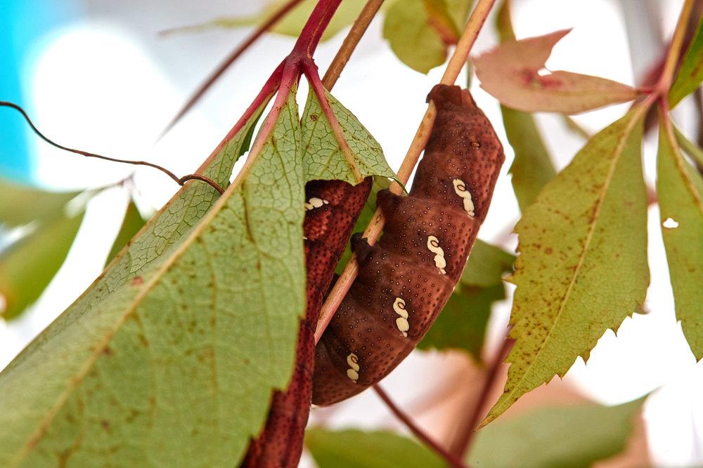 Caterpillars - 2016    - 40280- 000098.jpg