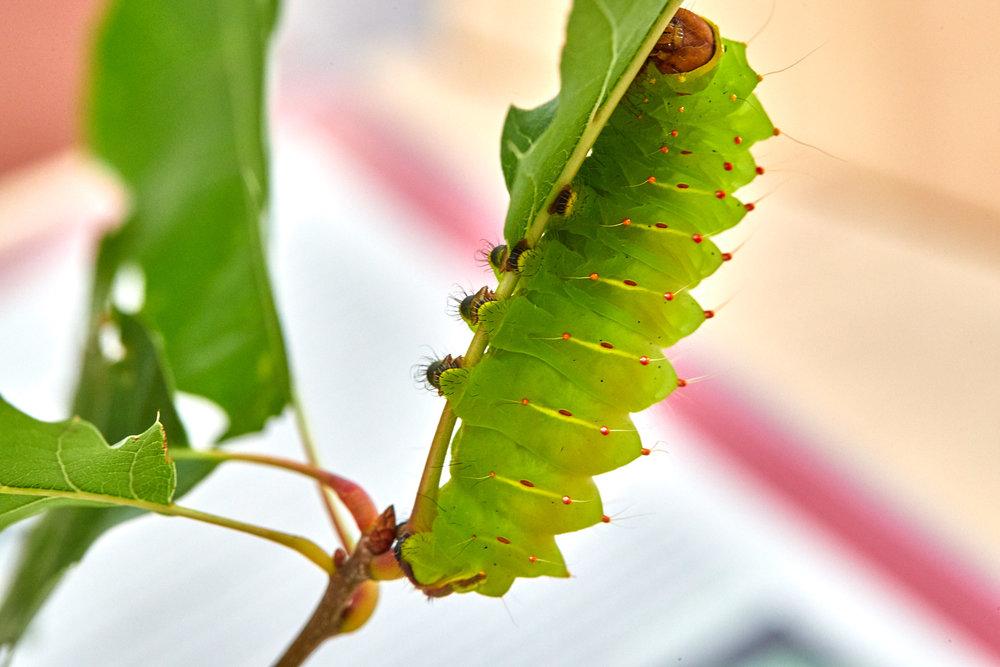 Caterpillars - 2016    - 40285- 000101.jpg