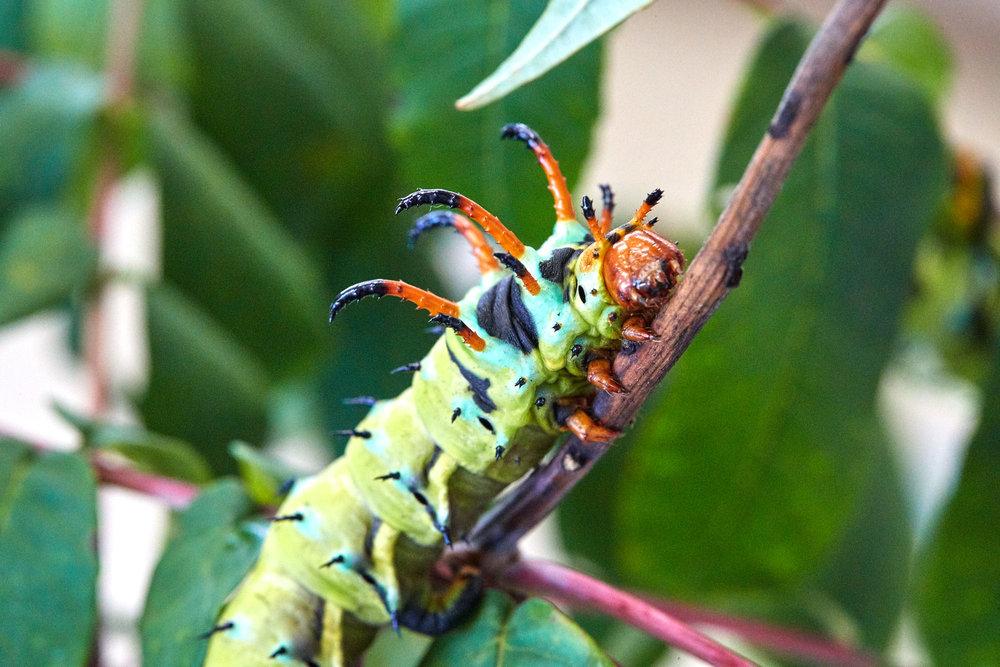 Caterpillars - 2016    - 40296- 000107.jpg