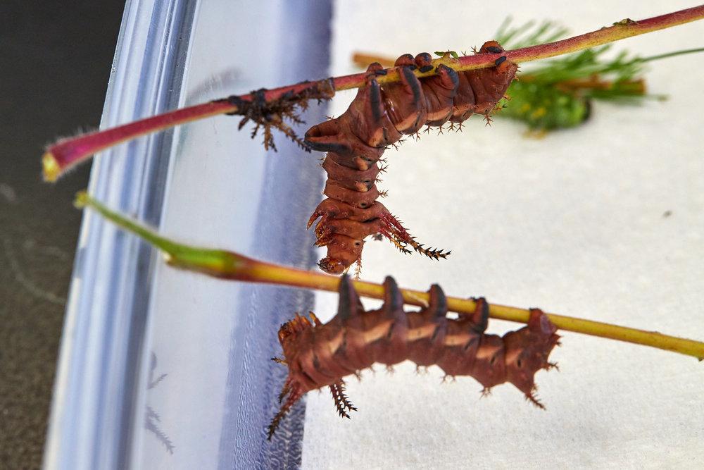 Caterpillars - 2016    - 40334- 000127.jpg