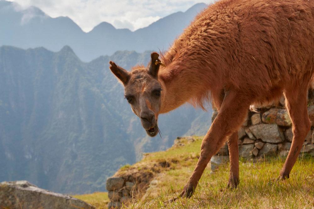 Machu Picchu gardner