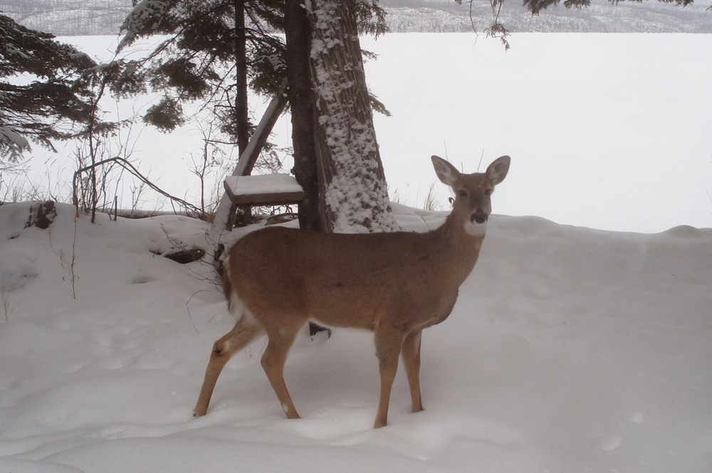 winter deer.jpg