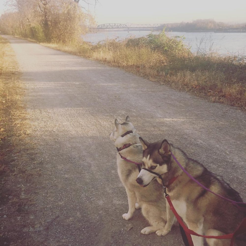Our two siberian huskies on one of our many walks. These guys never seem to have a problem figuring out where to go next- they go on our bushes, on our trees. . .