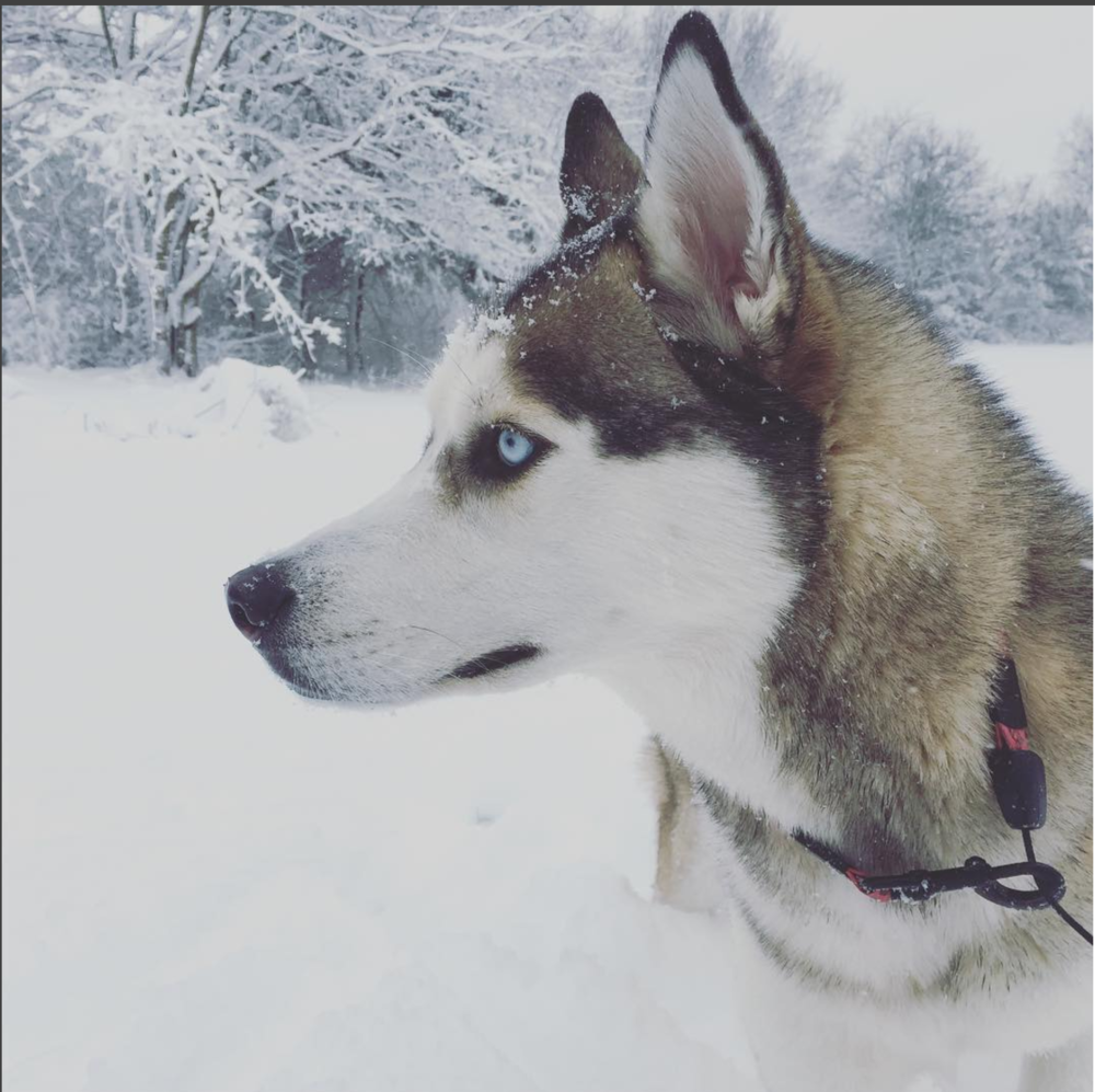 My Siberian husky Coda enjoying the first snowfall in his new backyard.