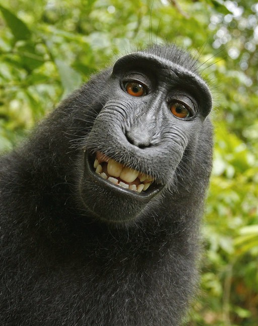 David Slater's monkey selfie photo