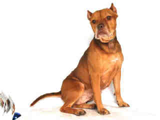 Kat (5 Years Old) American Staffordshire/Terrier Mix