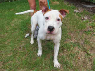 Scooter  (3 Years Old)  Pit Bull Terrier Mix