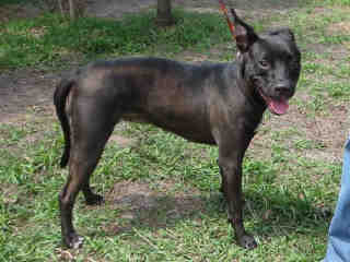 Sheba  (2 Years Old) Labrador Retriever/Pit Bull Terrier Mix