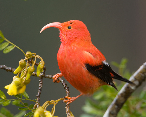 5. What type of creature is the Hawaiian honeycreeper?  Bird