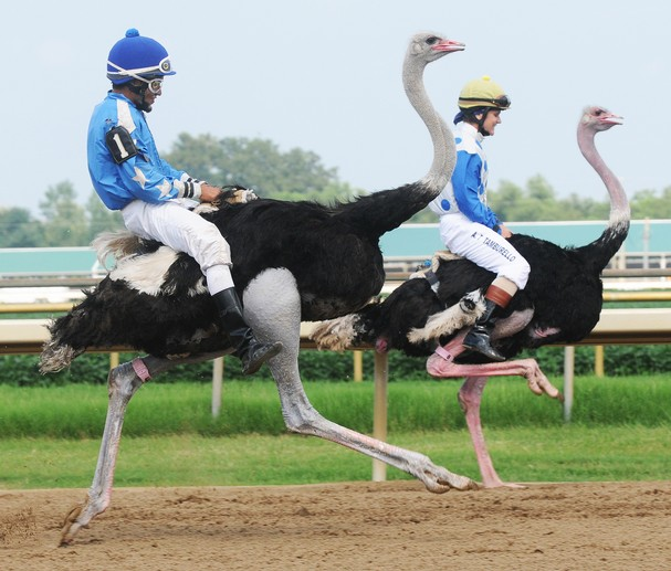 21. In Ostrich racing do the birds race on their own or do they carry jockeys? There are jockeys