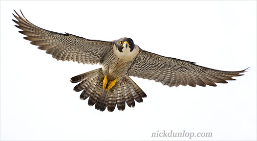 Q4 What is the fastest bird in the world? Peregrine falcon