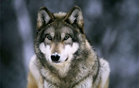 Q5 Which mammal has the Latin name canis lupus? The wolf