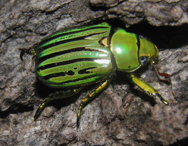 Q5 What specific kind of beastie does a coleopterist study? Beetles