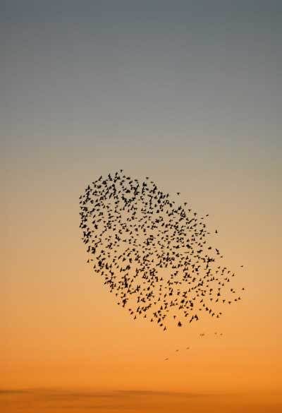Q8 Which animals collective noun is a murmuration? Starlings
