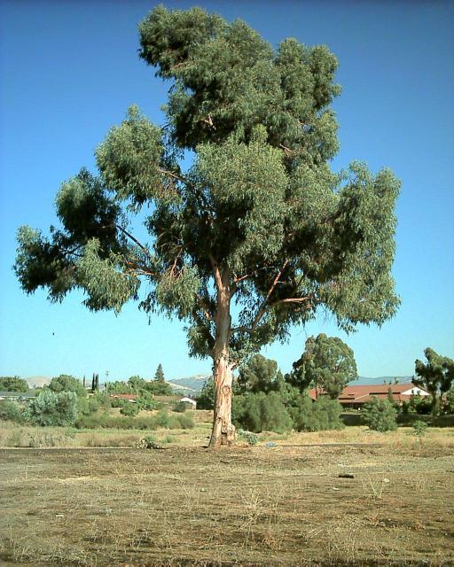 Q3 Which Australian tree is also called a gum tree? Eucalyptus