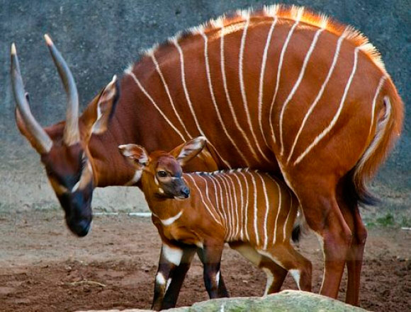 Q7 What sort of creature is a bongo? Antelope