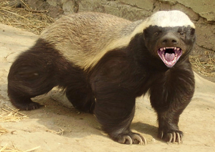 Q7 According to The Guinness Book of Records in 2002 which is the earths's most fearless animal? The Honey Badger from Africa, at just 3ft long it will square up and attack hyena, jackal and even lions and win!