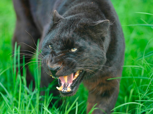 Q3 The Panther is not a distinct species itself but is the general name used to refer to any black coloured feline of the Big Cat family, most notably Leopards and Jaguars.
