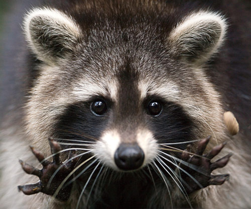 Q7 Which native American mammals collective noun is a mask? Raccoons