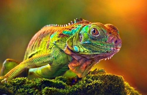 Q6 A mess is which reptiles collective noun? A mess of iguanas