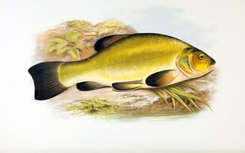 Q4 What is the more common name for the European freshwater fish with the Latin name tinca tinca? Tench