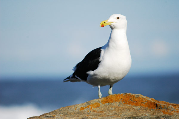 Q05. What birds collective noun is a squabble? Seagull