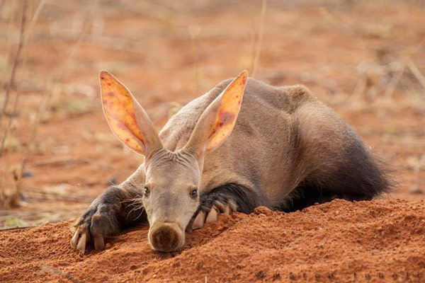 Q7. What is the first animal that appears in The Oxford Dictionary? Aardvark
