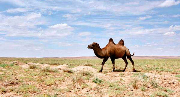 Q04. How many humps does a bactrian camel have? Two