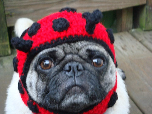 Pickles, the Ladybug Pug