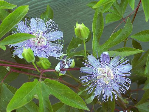 Passion fruit vine or maypop: Passiflora incarnata - image via Hunda, Creative Colia Commons