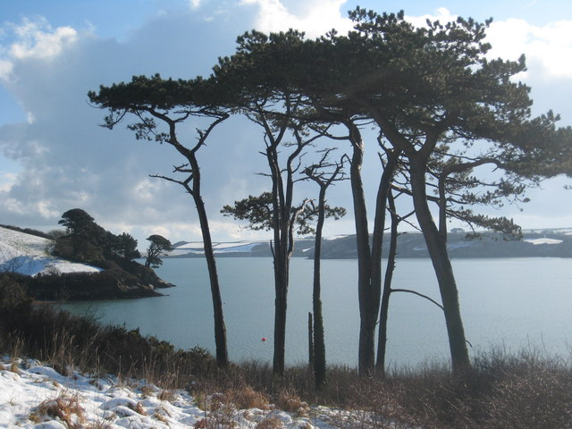 Monterey Pines by the Helford River